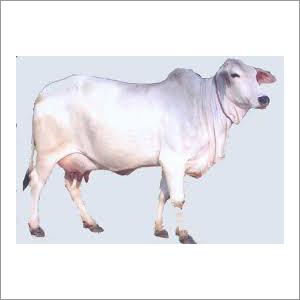 Swiss Tharparkar Cow
