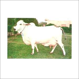 Sahiwal Tharparkar Cow