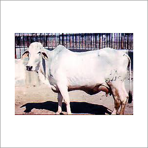 Karnal Tharparkar Cow