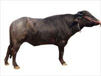 Best Murrah bull semen