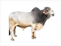 Tharparkar Bull Semen