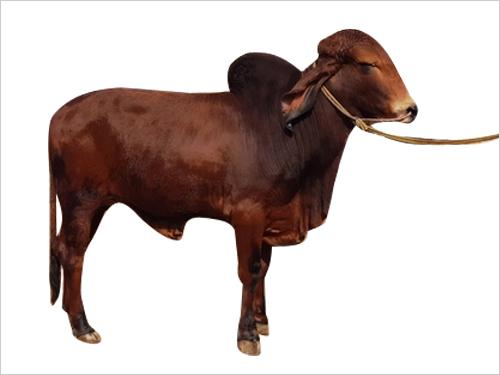 Gir Bull Semen