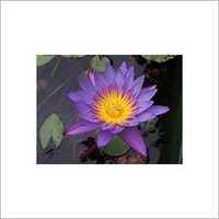Lotus Extract