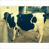 HF Cow Supplier in Gujarat