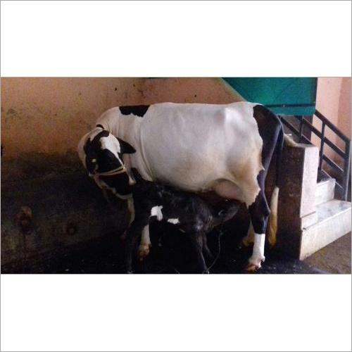 HF Cow Supplier in Andhra Pardesh