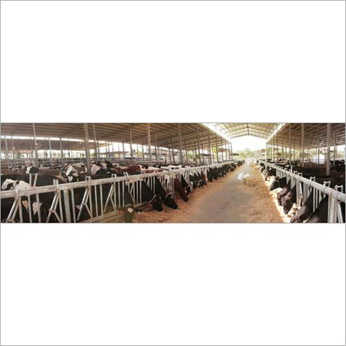 HF cow Milk producing Farm