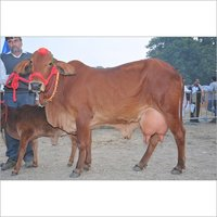 Sahiwal Cow supplier in UP
