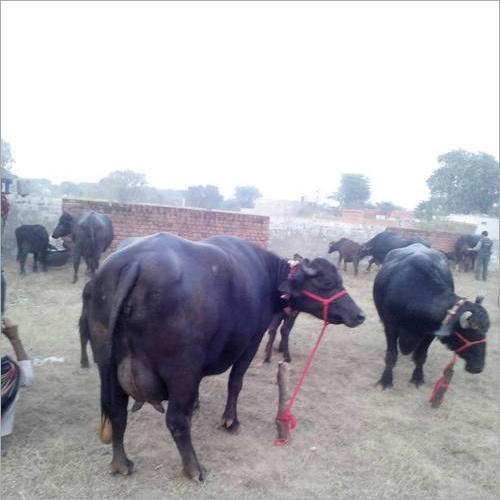 High Milk Yeilding Producing Murrah Buffalo