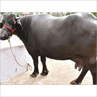 Murrah Buffalo Supplier India