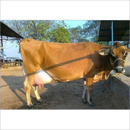 Jersey Cow Supplier India