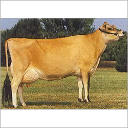 Jersey Cow Supplier Delhi