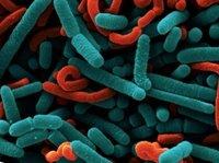 Lactobacillus Acidophillus