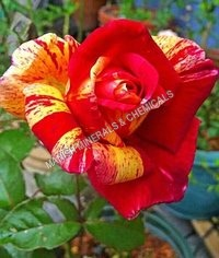 Rose Clrs Water Soluble Fragrance