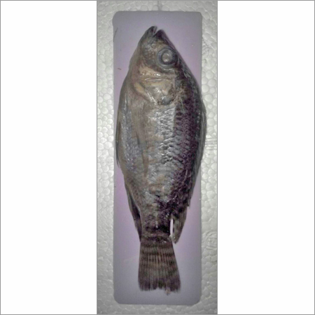 Model of Rohu Fish