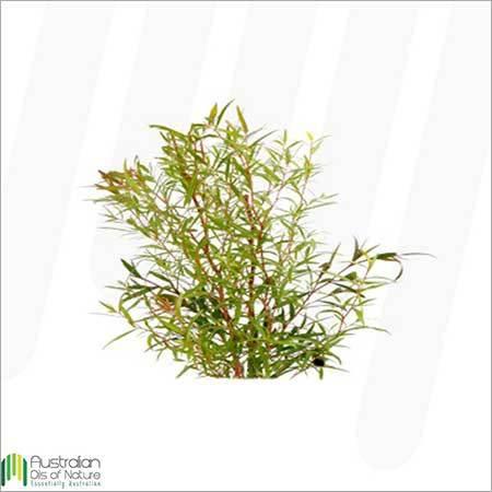Tea Tree Lemon Scented Essential Oil