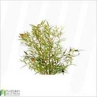 Tea Tree Lemon Scented Essential Oil