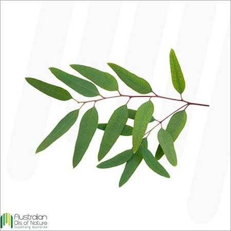 Eucalyptus Lemon Scented Essential Oil