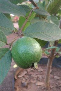 L49 guava - Manufacturer,Supplier,Exporter,Andhra Pradesh,India