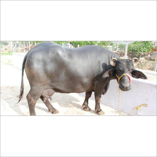 Karnal Murrah Buffalo