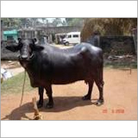 Murrah Karnal Buffalo