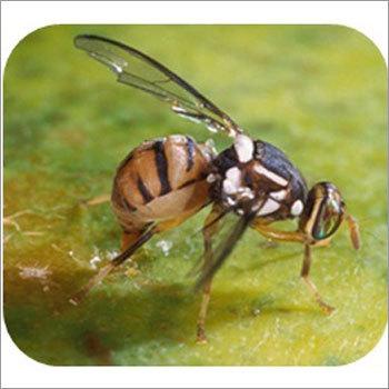 Bactrocera Dorsalis Pheromone Lure