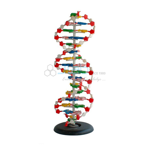 Human DNA Structure Model