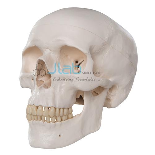 Human Skull Model