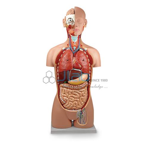 Human Torso Model (Life Size)