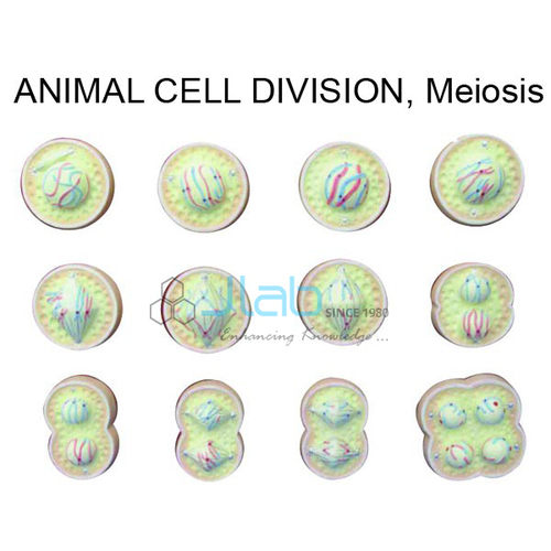 Animal Meiosis Model