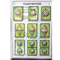 Plant Mitosis Model