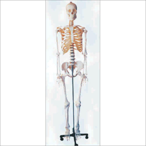 Human Skeleton Life Size(Tall 170cm)