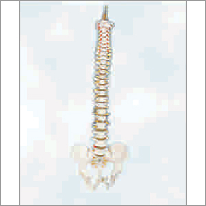 Vertebral Column with Pelvis Life Size (Tall 85cm)