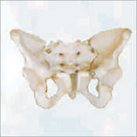 Adult Female Pelvis