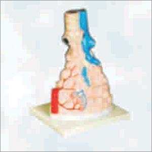 Magnified Pulmonary Alveoli Model