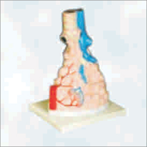 Magnified Pulmonary Alveoli Model
