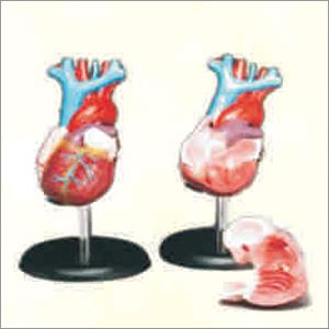Heart Model Life Size