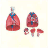 Larynx, Heart &  Lungs Model