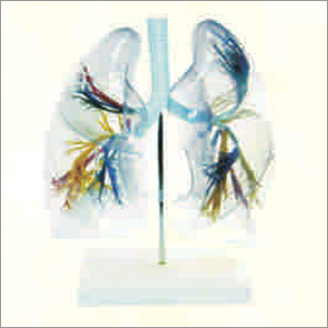 Transparent Lung Segment