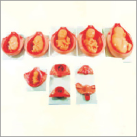 Development Process For Fetus Model