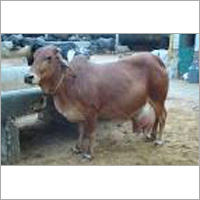 Sahiwal Breed