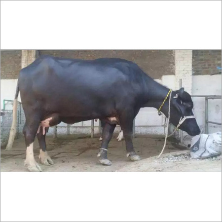 Buffalo Nili Ravi