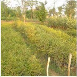 Amla Plants