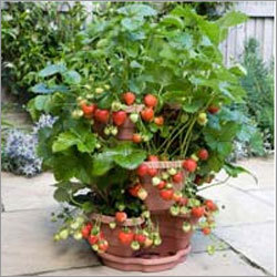 3-Tier-Strawberry-Planter