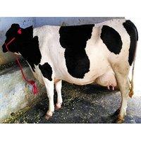 American HF Cow