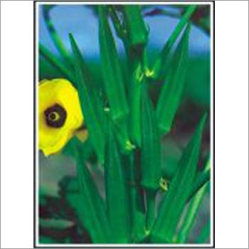 Super Anamika - Bhindi (Okra) (Open Pollinated)