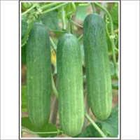 Mala - Cucumber (Hybrid) Seeds