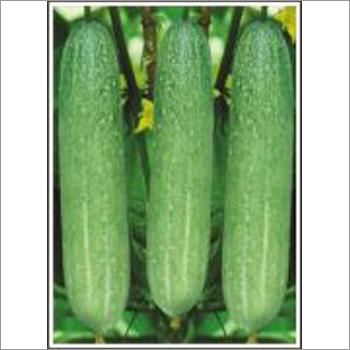 Maharaja - Cucumber (Open Pollinated) Seeds
