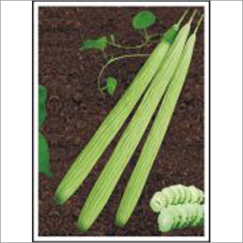 Sweety - Long Melon (Hybrid) Seeds