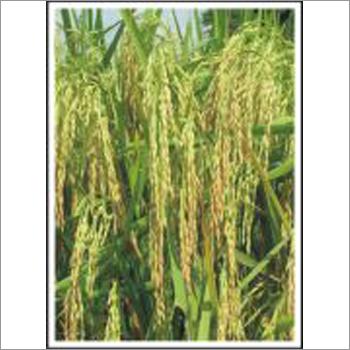 Aroma - Paddy (Hybrid) Seeds