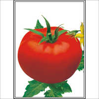 Amrit (B.W.T) - Tomato (Super Selection) Seeds